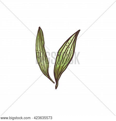 Fresh Green Ginger Leaves, Engraving Sketch Style Vector Illustration Isolated.