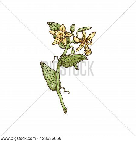Branch Of Vanilla Plant With Flowers, Engraving Vector Illustration Isolated.