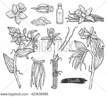 Vanilla Flowers And Beans Hand Drawn Engraving Ink Vector Illustration Isolated.