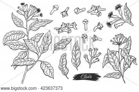 Set Ingredient Of Clove Aroma Plant - Flowers, Leaves, Branch And Buds