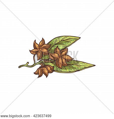 Anise Plant Branch With Leaves And Stars Engraving Vector Illustration Isolated.