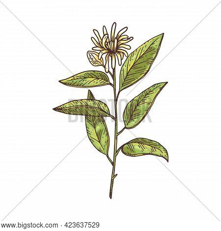 Branch Of Plant Star Anise With Flower And Leaves Natural , Medicine Herb