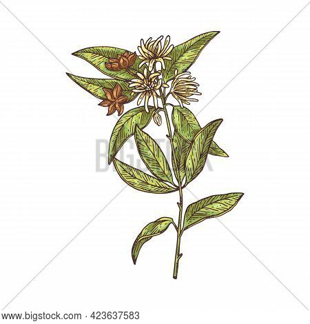 Anise Herb Hand Drawn Botanical Engraving Ink Vector Illustration Isolated.