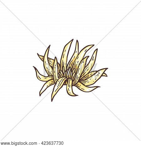 Star Anise Flower, Plant Badyan Natural And Medicine Herb.