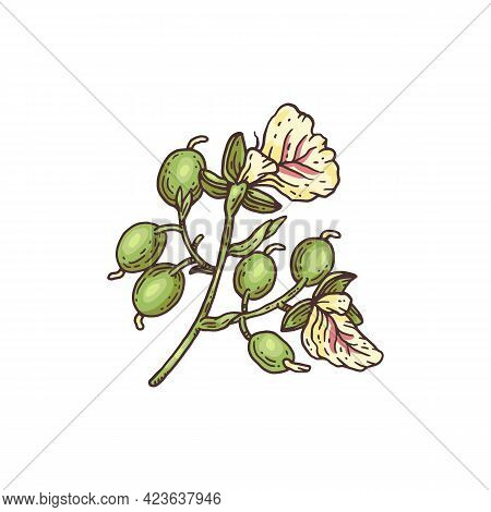 Fresh Branch Of Cardamom Plant, Engraving Colored Vector Illustration Isolated.