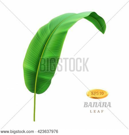 Exotic Foliage Of Banana Plant, Isolated Tropical Leaf, Greenery And Floral Decoration. Bending Foli