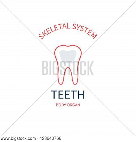 Skeletal System Anatomy Infographic Poster Of Tooth