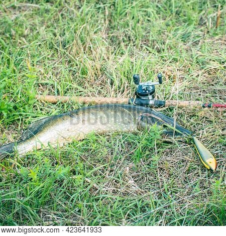 Pike And Spinning With Baitcasting Reel On Grass. Esox Lucius