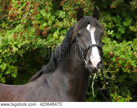 A Head Shot Of A Black Horse With A Big White Face In A Snaffle Bridle.
