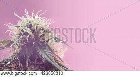 Flowering Medical Marijuana Bud. Long Banner With Cannabis In Aesthetic Modern Look. Hemp Flower For