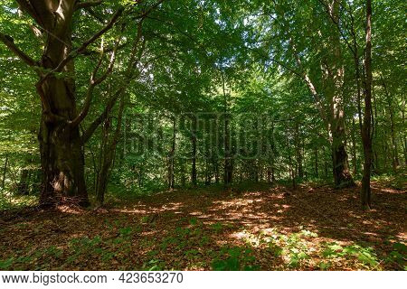Deciduous Beech Forest In Summer. Beautiful Nature Background On A Sunny Day. Scenery With Tall Tree