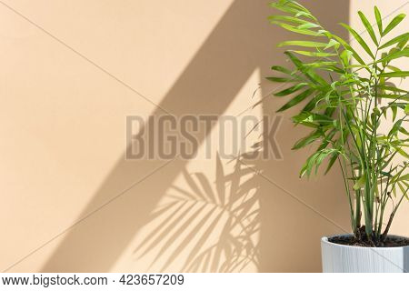 Decorative Hamedorea Or Areca Palm In A Modern Flower Pot In The Sun Against The Background Of A Bei