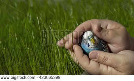 A Curious Wavy Parrot In The Palms Of The Person On The Background Of Green Grass. A Pet In The Hand