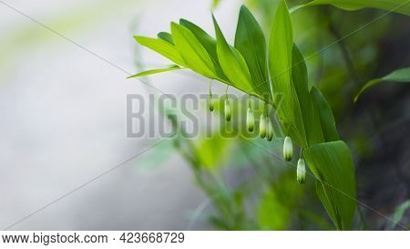 Polygonatum Odoratum, Polygonatum Officinale, White Forest Flowers In Bloom, Springtime Wild Floweri
