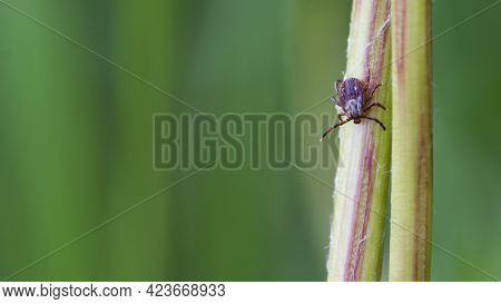 Mite. Acari Sitting On A Dandelion Stalk. Ixoid Mite. Macro Photo Of Insect, Parasite. Spreads Infec