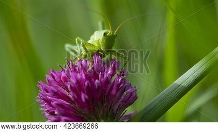 Green Grasshopper. Green Locust Sits On A Clover Flower. Big Cricket On A Red Flower, On A Green Blu