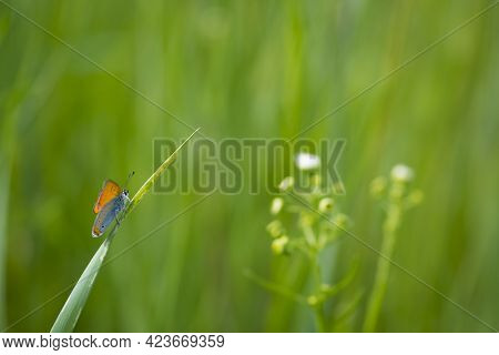 Small Copper, Lycaena Phlaeas. Lycaenidae, Blue Butterfly, Insect. Perching On Grass. Copper Butterf