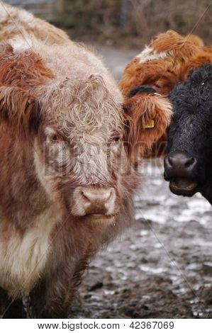 Beef Cattle at a farm feeding station poster