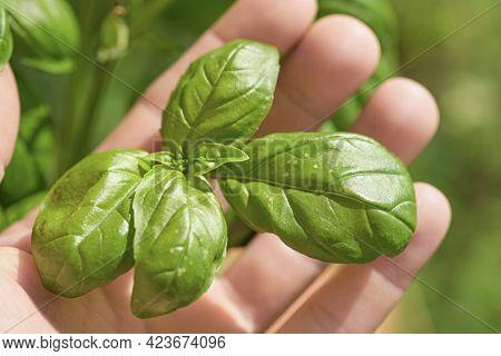 Farmer Man Hold Basil Plant Leaves On A Farm, Healthy Food Ingredients