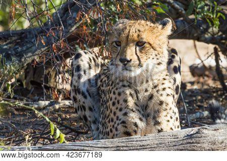 A Young Cute Cheetah (acinonyx Jubatus) Juvenile Cub Lying In The Grass In Kruger National Park, Sou
