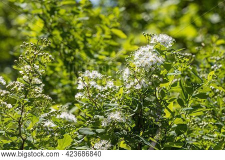 Branch Of Ninebark Tree With White Flowers And Green Leaves And Buds Blooms On A Green Blurred Backg