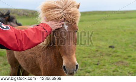 Husavik, Iceland - June 2019: Man Standing Close To An Icelandic Horse With Long Hair, Stroking It.