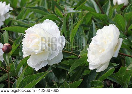 White Double Peony, Paeonia Lactiflora Variety Festiva Maxima, Flowers With Other Flowers And Buds B
