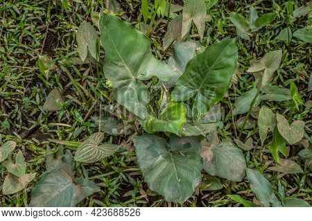 Looking Down On A Large Broad Leaf Arrowhead Plant With Smaller Arrowheads And Grasses Surrounding I