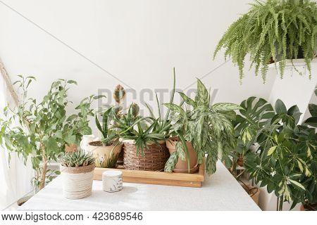 Beautiful Indoor Green Plants Growing In Different Pots.