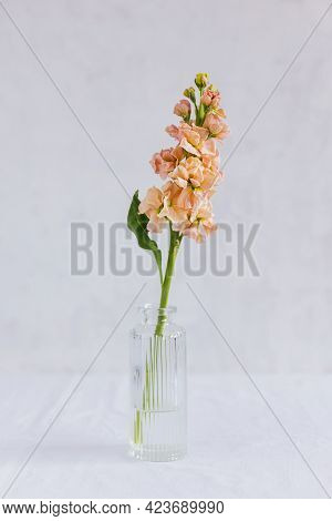 Tender Peach Pink  Matthiola Flower In A Glass Vase On White Background. Minimal Concept. Place For