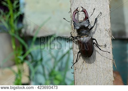 Buck Stag Beetle In Summer On A Wooden Background.