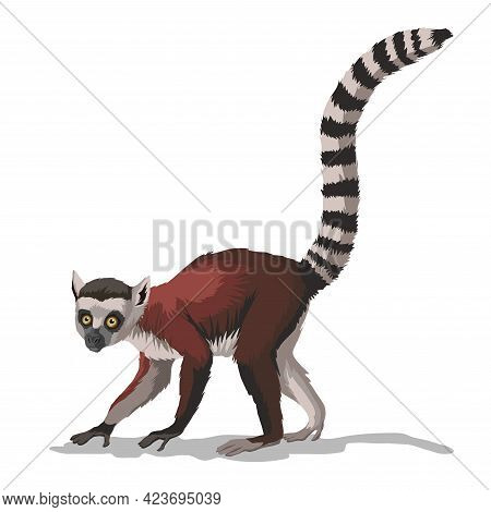 Striped-tailed Macaque Or Lemur With . A Monkey Animal With A Very Long Tail On Branch.isolated In W