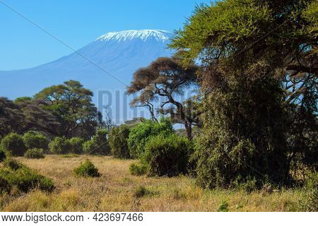 Impressive travel to Amboseli Park, Kenya. Savanna with rare bushes and desert acacies. The famous snow peak of Kilimanjaro. The concept of exotic, ecological and photo