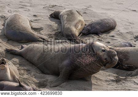 San Simeon, Ca, Usa - February 12, 2014: Elephant Seal Vista Point. Closeup Of Male Among Females On