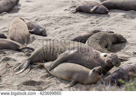San Simeon, Ca, Usa - February 12, 2014: Elephant Seal Vista Point. Mating By Male And Howling Femal
