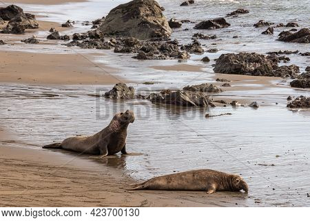 San Simeon, Ca, Usa - February 12, 2014: Elephant Seal Vista Point. 2 Big Males Arrive At Water Edge
