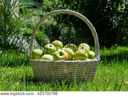 Green Apples In A Basket On Green Grass. A Large Basket Of Apples. Green Apples In A Wicker Basket.