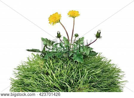 Yard Weed As A Dandelion Flower Pant As A Symbol Of Grass Weeds And Herbicide As A Garden Or Gardeni