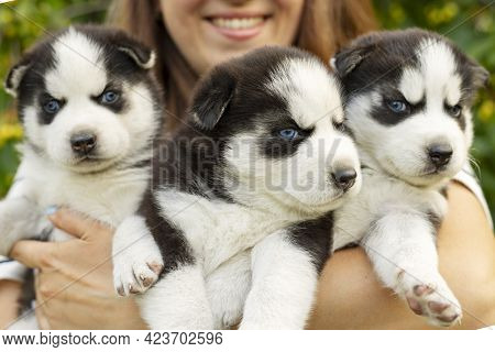 Woman Holding Three Wonderful Purebred Husky Puppies In Her Hands. Close Up Portrait Of Three Small