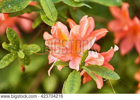 Azalea In Summer Minsk Park, Rhododendron Red Blooming Flowers In Spring Botanical Garden