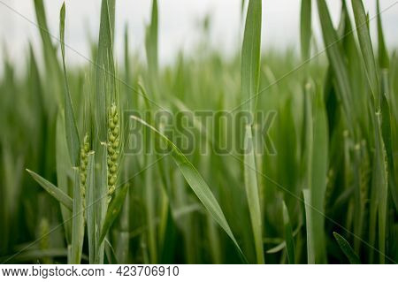 Ripening Ears Of Meadow Wheat Field. Rich Harvest Concept. Ears Of Green Wheat Close Up.