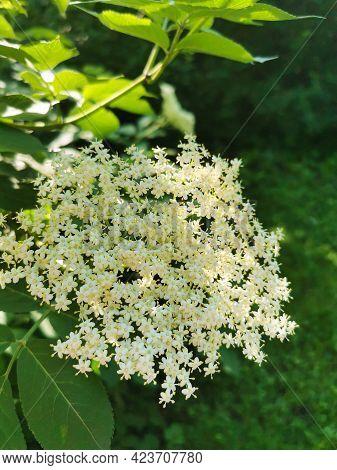 Elderflower (sambucus) Clusters In Sunny Summer Day. Elderberry Flower And Green Leaves
