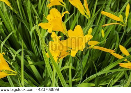 Two Flowers Of Daffodils Or Narcissi In Bloom, With Pale Yellow Petals And A Darker Yellow Trumpet O