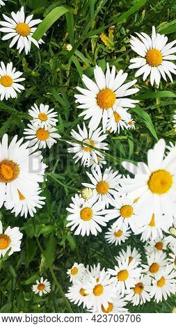 Wild Daisy Flowers Growing On Meadow, White Chamomiles On Green Grass Background. Oxeye Daisy, Leuca