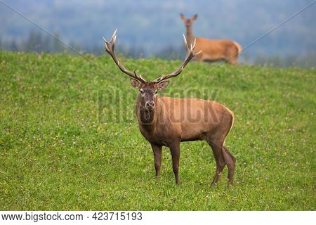 Couple Of Red Deer Standing On Green Meadow In Autumn Nature