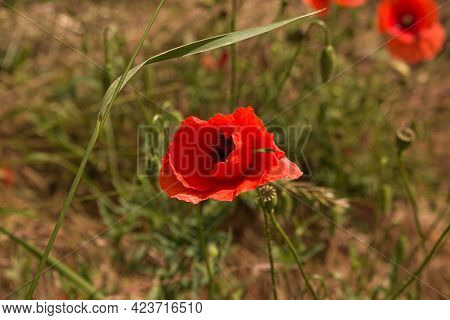 Red Poppy Flowers On Green Nature. Close Up Of Beautiful, Red, Blooming Poppies In A Natural Field B