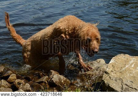 An Adult Dog Emerges From The Fresh Water At The Riverside During The Daylight Hours.