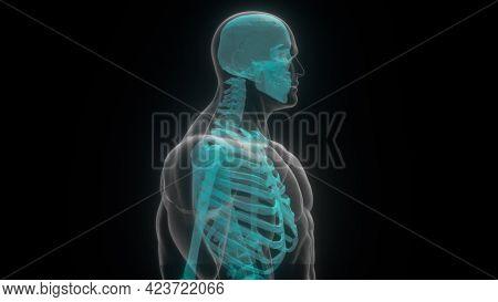 Translucent 3d Render Skull And Humerus On Digital Surface. Full Anatomical Scan Upper Skeleton. Dig