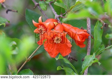 On The Branches Are The Fruits And Flowers Of The Pomegranate Tree. Hot Summer In Israel