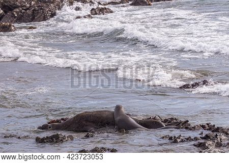 San Simeon, Ca, Usa - February 12, 2014: Elephant Seal Vista Point. Young Female Rests Head And Uppe